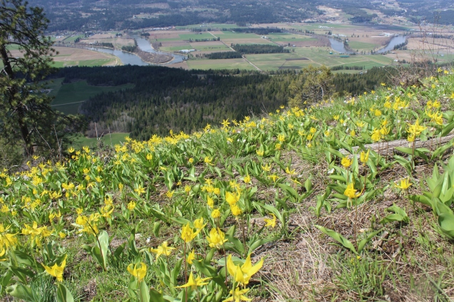 Avalanche lily-Enderby cliffs